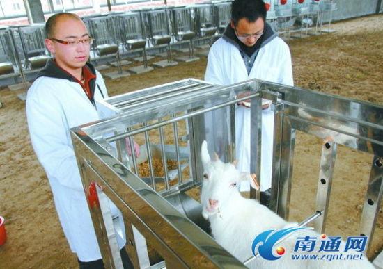 南京农业大学海门山羊繁育基地研发中心,两位南农大研究生在进行营养需要量和羊的消化代谢实验。 赵蓓莉摄