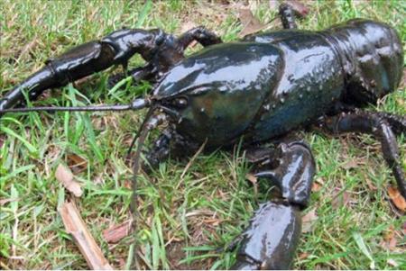 世界最大龙虾每只够吃一周2