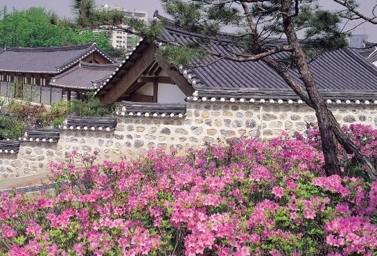 山茶花是济州岛相当有名的花种,在汉拿山,到处可见开满山茶花的树园