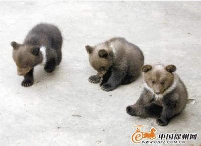 中班小袋鼠动物宝宝学本领图片棕熊