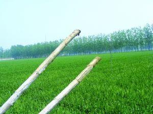 泗阳上千棵新栽杨树死亡 回应称技术不达标