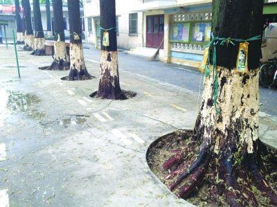 拍过戏的水杉树集体生病。