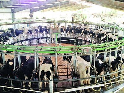 全自动化的挤奶设备。 陈郁 摄
