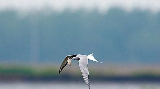 孤独的一羽须浮鸥在苇荻里摇曳,修长的羽翼让它的飞行如曼妙的舞步