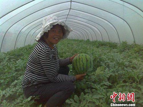 门大姐把家里2亩地租给西瓜种植大户后,自己又到瓜棚里当起了西瓜保姆 朱志庚摄