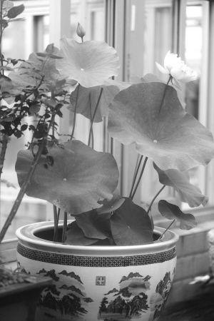 莫愁湖公园的盆栽荷花。记者 邵丹 摄