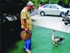 老汉遛鸭子健身