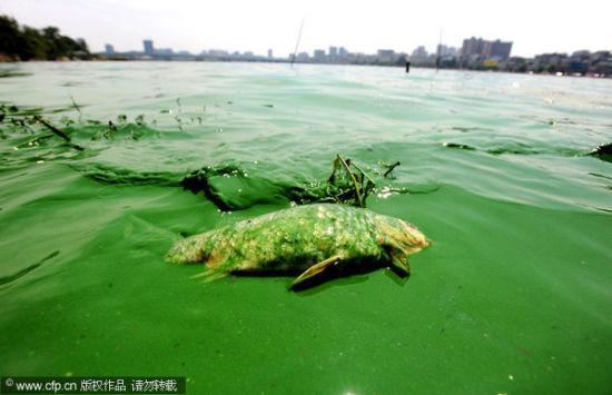 蓝绿色湖面上漂浮死鱼
