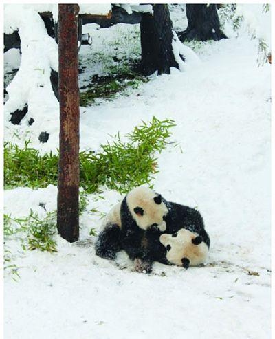 南京红山动物园大熊猫雪天抱团打架(图)