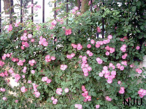 初夏的蔷薇是最有活力和朝气的