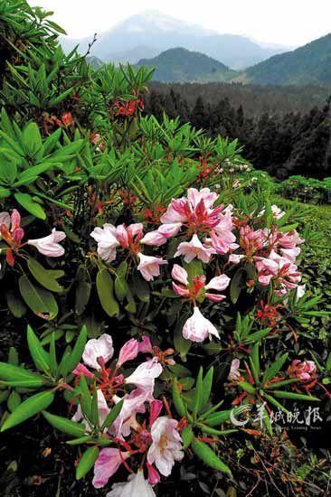 天台山杜鹃花盛放的季节