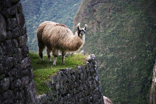 库斯科的驼羊