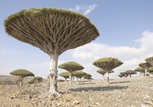 索科特拉岛上的龙血树