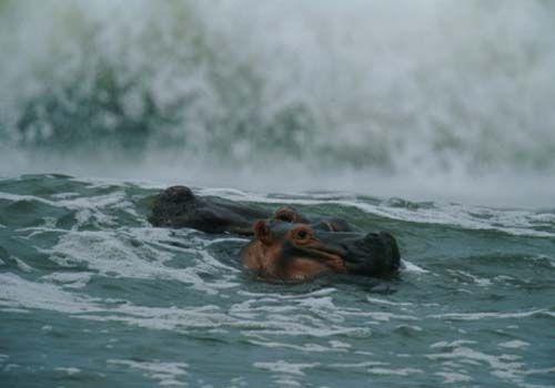 加蓬冲浪的河马
