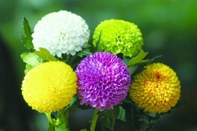 南京中山植物园办视频正培育菊展版蕾丝妖姬机菊花蓝色图片