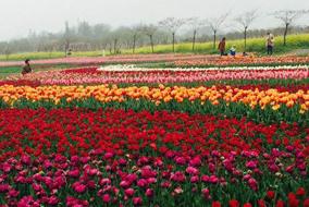 后白鲜花季・3月岩藤农场花海