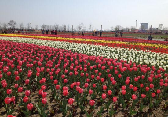荷兰花海的郁金香已绚丽绽放