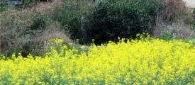 3月 桂林油菜花怒放的季节